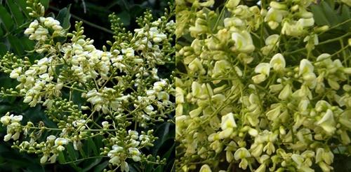 Hoa hòe là loại thuốc quý trong dân gian