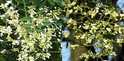 Hoa hòe chứa nhiều dược chất tốt cho sức khỏe con người