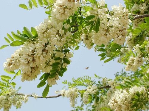 Theo y học hiện đại, hoa hòe có rất nhiều công dụng tốt cho sức khỏe