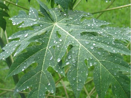 Bạn nên sử dụng lá đu đủ kết hợp với các liệu trình thuốc Tây y