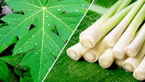 Thực hư chuyện lá đu đủ và sả trị ung thư