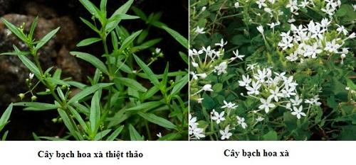 Cách phân biệt bạch hoa xà thiệt thảo và cây bạch hoa xà