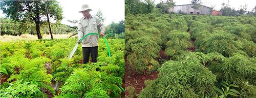 Khi trồng cây đinh lăng phải đảm bảo đúng quy trình, đúng kỹ thuật, đất trồng tơi xốp, độ ẩm cao