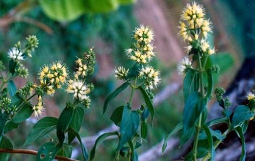 Cây dạ cẩm thảo dược tự nhiên có khả năng chữa nhiều bệnh