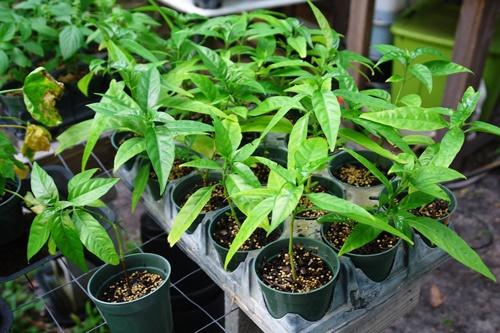 Cây hoàn ngọc thích hợp với khí hậu nhiệt đới gió mùa