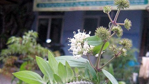 Dạ cẩm thường mọc tại các tỉnh miền núi phía Bắc