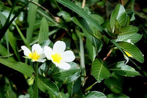 rau dừa nước có hoa màu trắng nhụy vàng