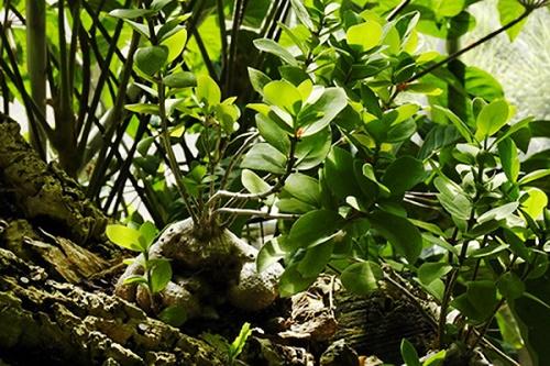 Hình ảnh bí kỳ nam mọc trên thân cây khác