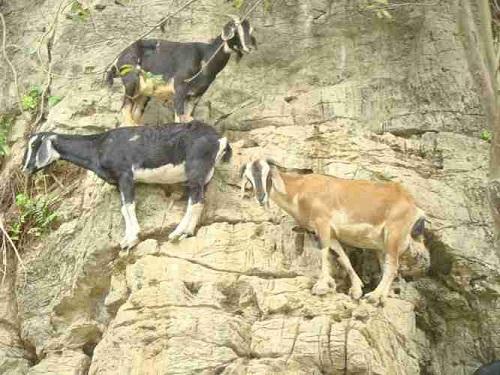Hình ảnh con dê nuôi tại Ninh Bình