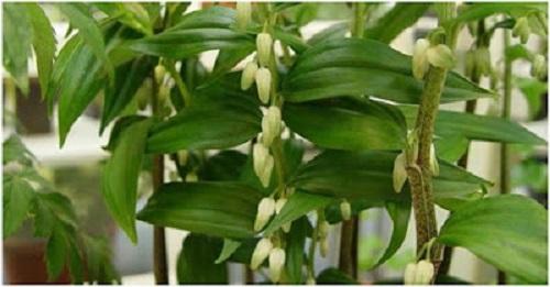 Cây hoàng tinh nở hoa