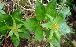 Đặc điểm cây bảy lá một hoa