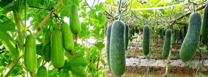 Bí đao dễ trồng, dễ chăm sóc nên có thể trồng tại nhà đơn giản