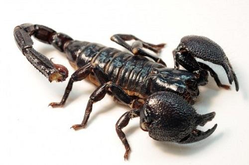 Hình ảnh bọ cạp