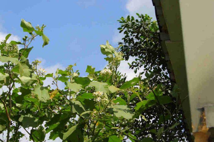 Lá cây hôi (cây ngoi)