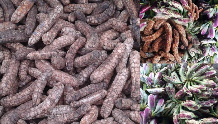 Cách ngâm rượu chuối hột rừng và giá chuột hột rừng trên thị trường