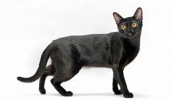 Mèo đen để làm cao