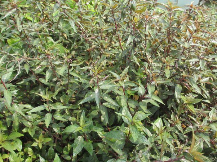 Cây mọc sát đất và được thu hái quanh năm