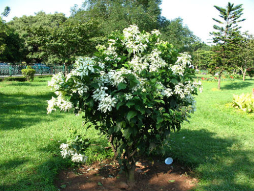 Cây bướm bạc có nhiều tác dụng chữa bệnh