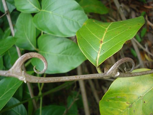 Hình ảnh cây cau 2