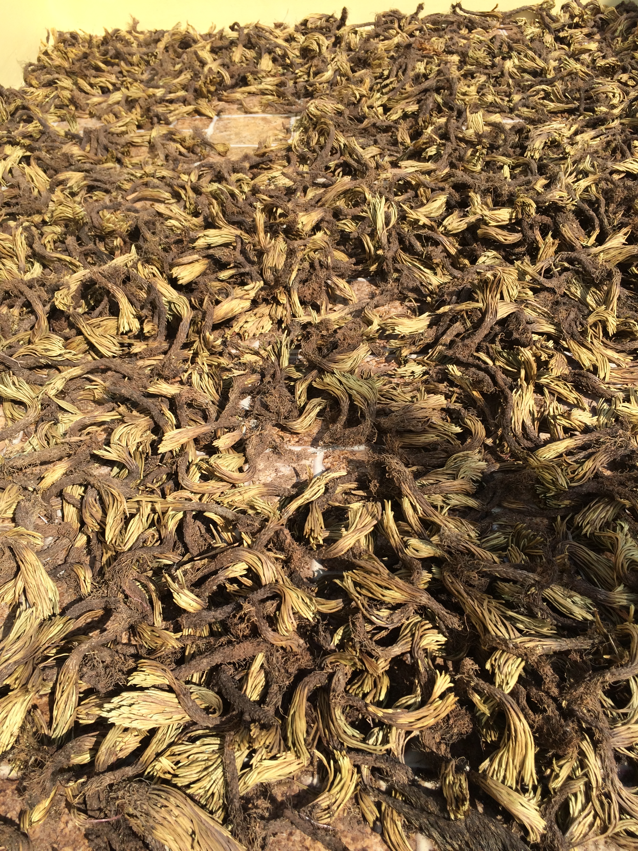 Hình ảnh cây chân vịt phơi khô