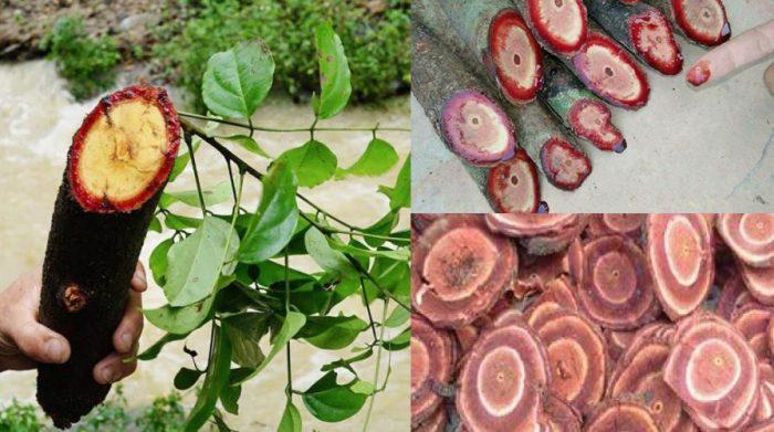 Cây cỏ máu tươi và hình ảnh cùng cách sử dụng cây cỏ máu hiệu quả