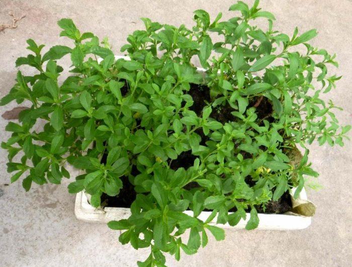 Cây có ngọt có thể đựoc trồng tại nhà