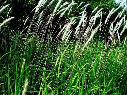 Cây cỏ tranh trong tự nhiên