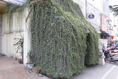 Hình ảnh cây cúc tần