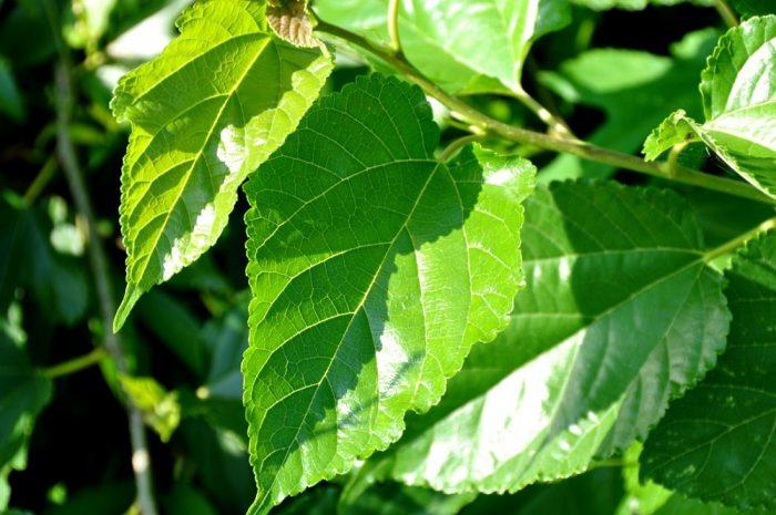 Hình ảnh lá tuơi của cây dâu tằm