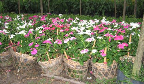 Giá dừa cạn khô