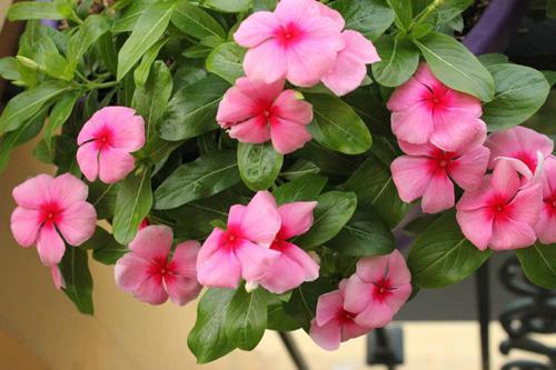 Hoa cây dừa cạn