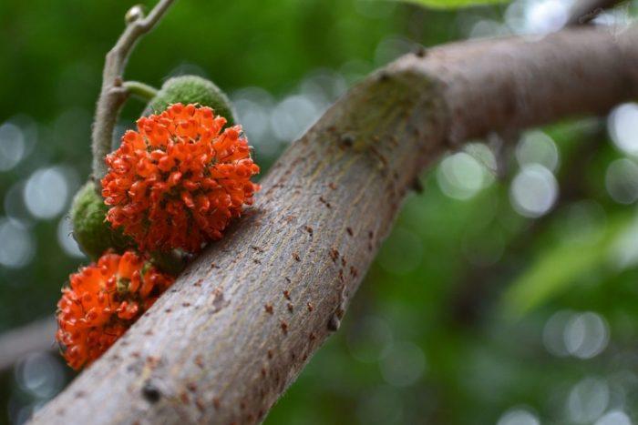 Thân và hoa cây dướng