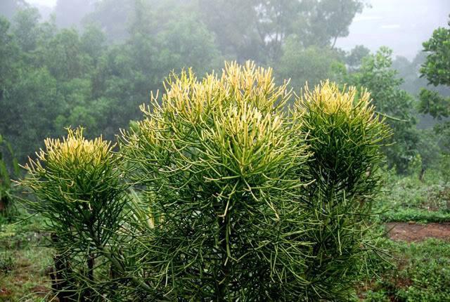 Cây giao có tên khoa học là Euphorbia tirucalli L., thuộc họ thầu dầu – Euphorbiaceae
