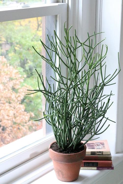 Cây giao không chỉ là một loại cây cảnh mà nó còn là một cây thuốc quý