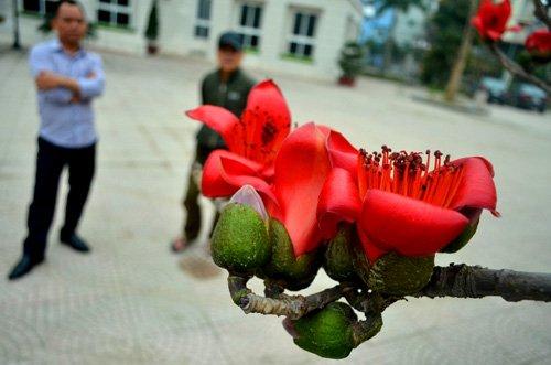 Tác dụng của cây hoa gạo