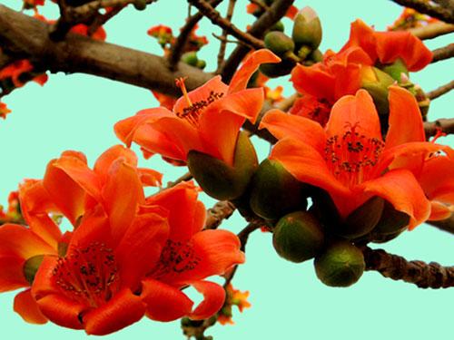 Hình ảnh hoa gạo khoe sắc
