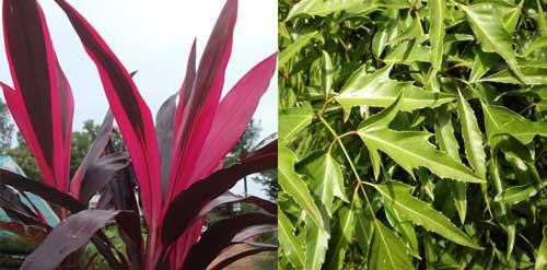 Hình ảnh câythiết thụ với cây định lăng làm thuốc nam chữa bệnh