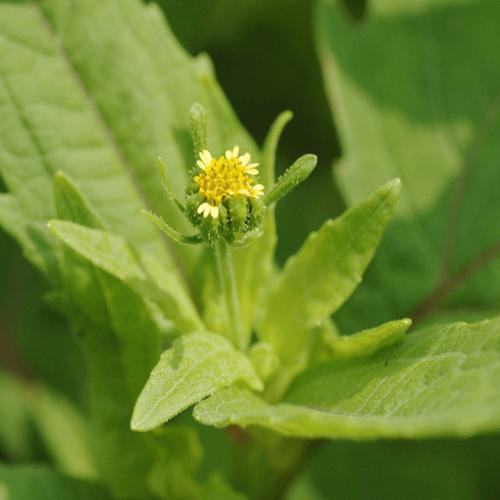 Mùa hoa hy thiêm bắt đầu từ tháng 4, 5 cho tới tháng 9 hàng năm