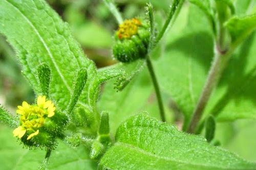 Cây hy thiêm thường bị nhầm với cây hoa cứt lợn có hoa màu tím.