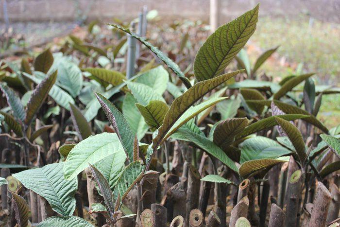 Công dụng cây lá khôi chữa viêm loét dạ dày, hành tá tràng