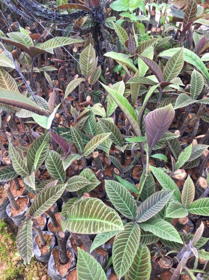 Giá cây lá khôi trên thị trường