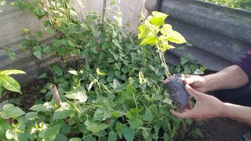 Hiện nay nhiều vùng dược liệu đã bắt đầu nhân giống cây lạc tiên làm thuốc chữa bệnh.