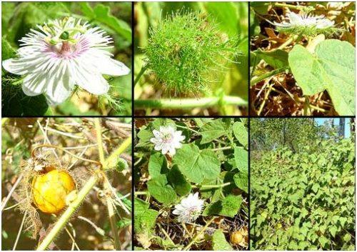 Hình ảnh lá, thân, hoa ,quả cây lạc tiên