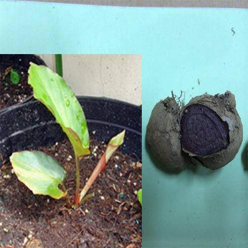 Tác dụng của cây ngải đen và cách dùng cây ngải đen ngâm rượu ra sao
