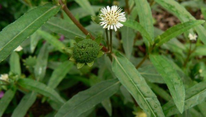 Cỏ nhọ nồi có tên khoa học Eclipta alba Hassk, thuộc họ Cúc Asteraceae