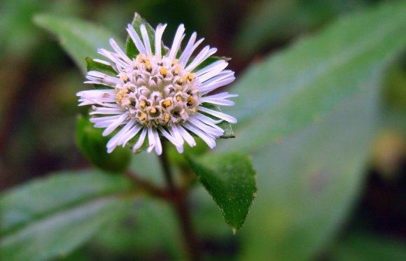 Hình ảnh hoa của cây nhọ nồi
