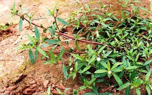 Hình ảnh toàn thân cây cỏ mực