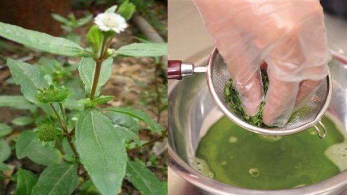 Lấy nuớc cốt của cây nhọ nồi để chữa bệnh