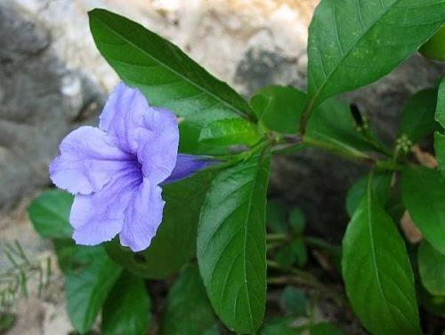 Hoa và quả ít được dùng làm thuốc