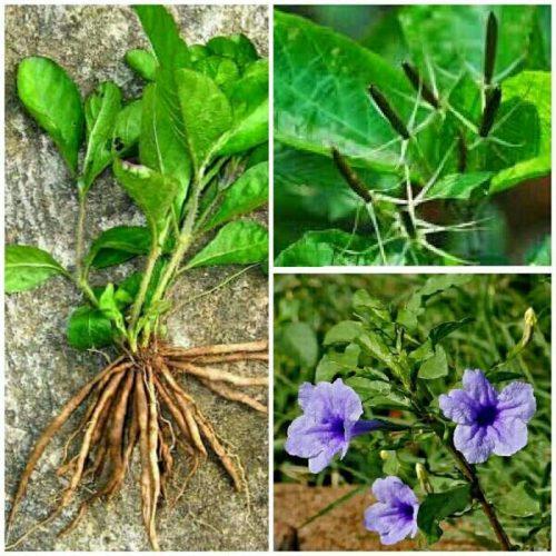 Hình ảnh rễ, thân lá và hoa nổ.